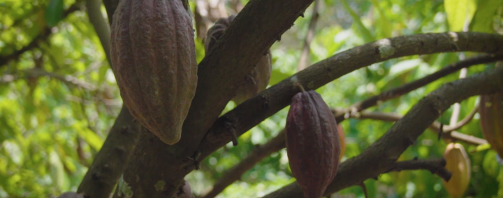 Cacao-Trace Fermentation Process
