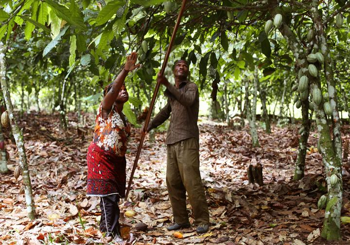 The reality of cocoa farming in Ivory Coast